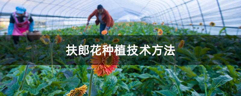 扶郎花种植技术方法