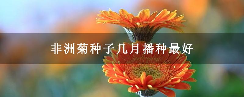 非洲菊种子几月播种最好
