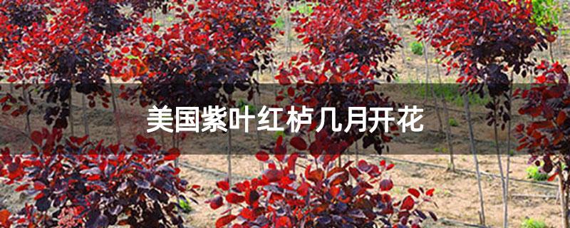 美国紫叶红栌几月开花