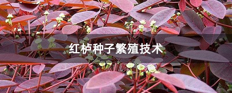 红栌种子繁殖技术