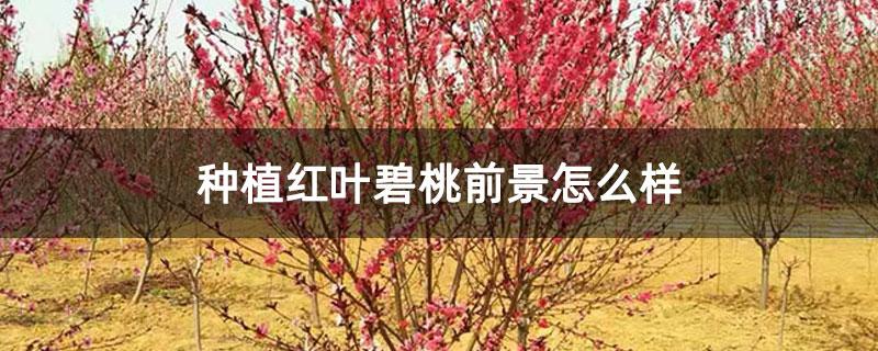 种植红叶碧桃前景怎么样