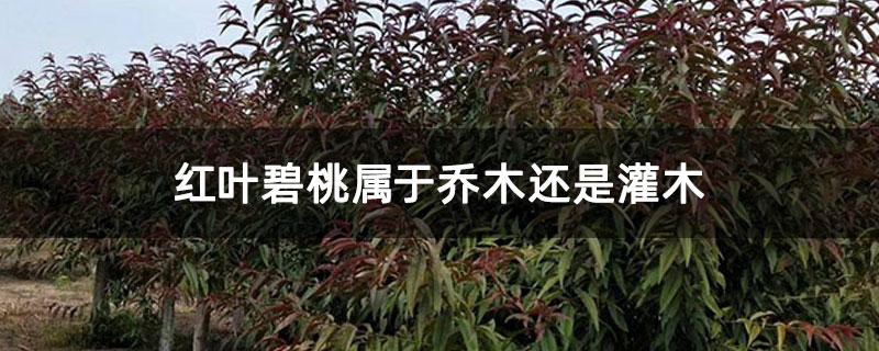 红叶碧桃属于乔木还是灌木