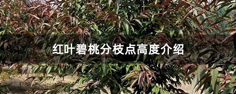 红叶碧桃分枝点高度介绍