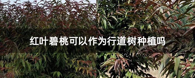 红叶碧桃可以作为行道树种植吗