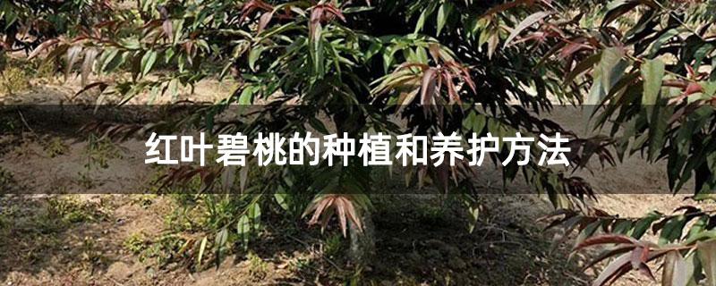 红叶碧桃的种植和养护方法