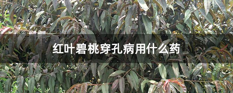红叶碧桃穿孔病用什么药