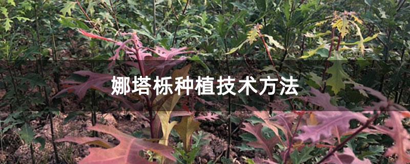 娜塔栎种植技术方法