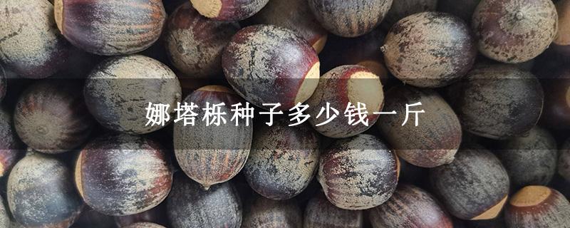 娜塔栎种子多少钱一斤