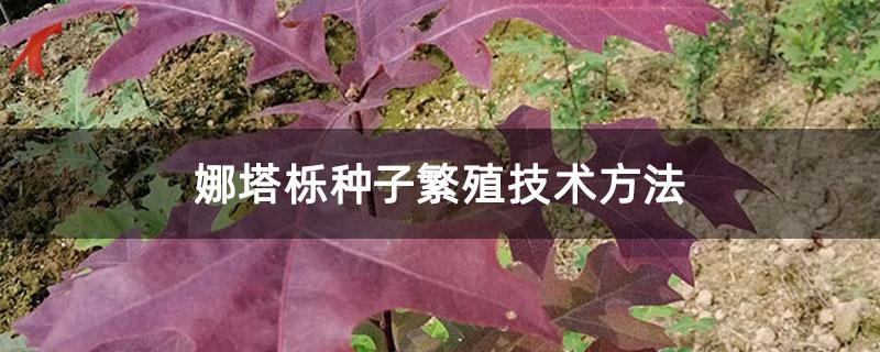 娜塔栎种子繁殖技术方法