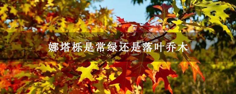娜塔栎是常绿还是落叶乔木