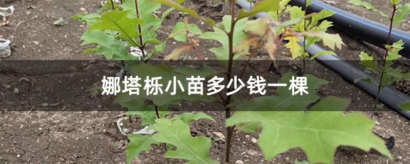 娜塔栎小苗多少钱一棵