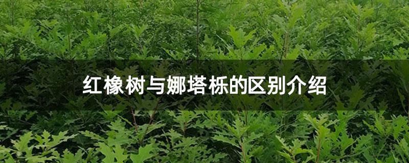 红橡树与娜塔栎的区别介绍