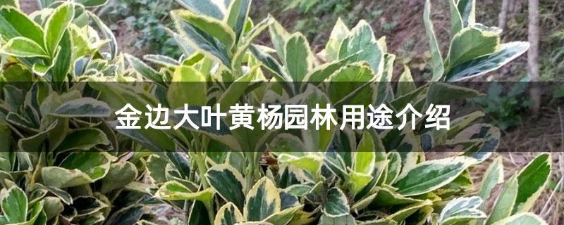 金边大叶黄杨园林用途介绍