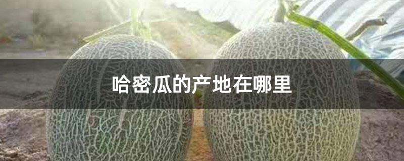 哈密瓜的产地在哪里