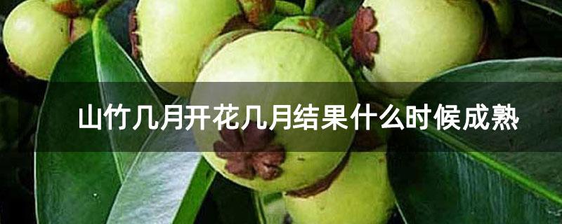 山竹几月开花几月结果什么时候成熟