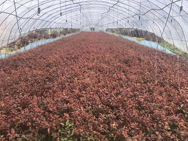 当前苗木市场上畅销的花灌木