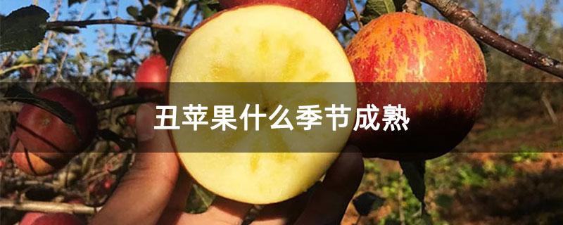 丑苹果什么季节成熟