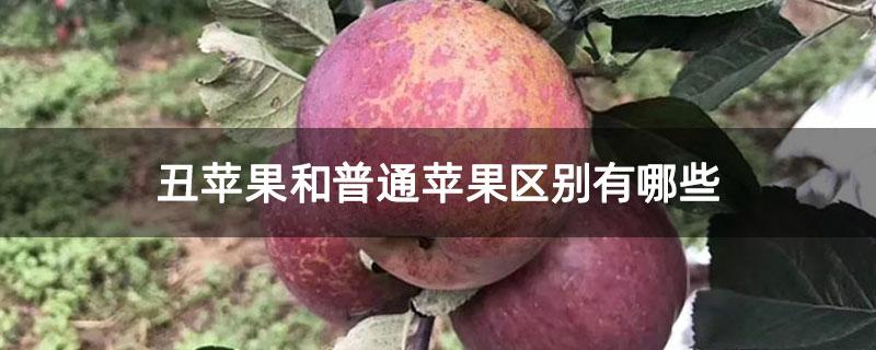 丑苹果和普通苹果区别有哪些