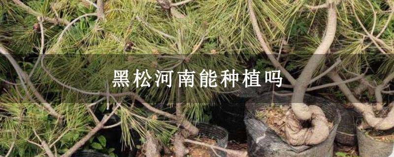 黑松河南能种植吗