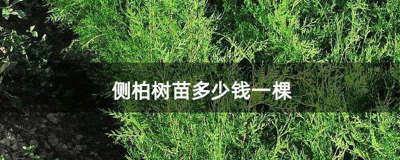 侧柏树苗多少钱一棵