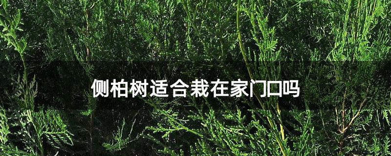 侧柏树适合栽在家门口吗