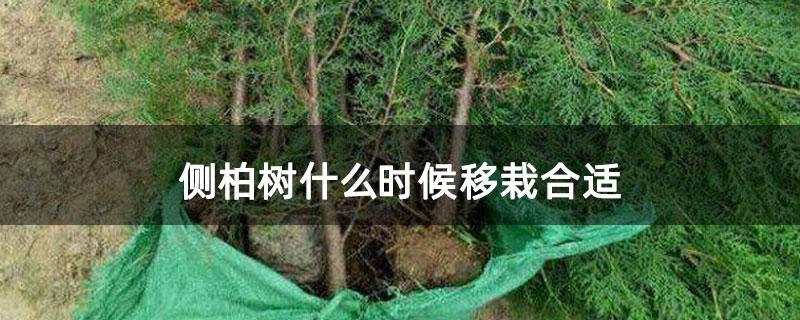 侧柏树什么时候移栽合适