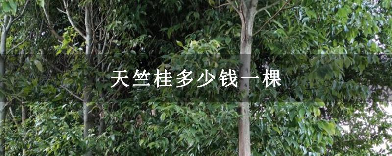 天竺桂多少钱一棵