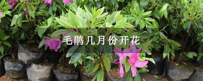 毛鹃几月份开花