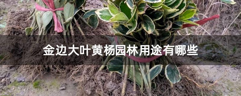 金边大叶黄杨园林用途有哪些