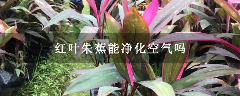 红叶朱蕉能净化空气吗