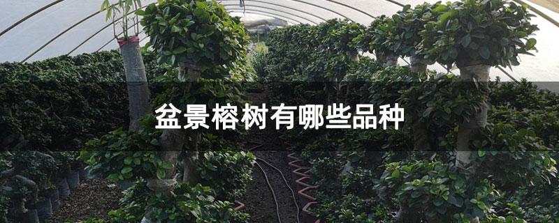 盆景榕树有哪些品种