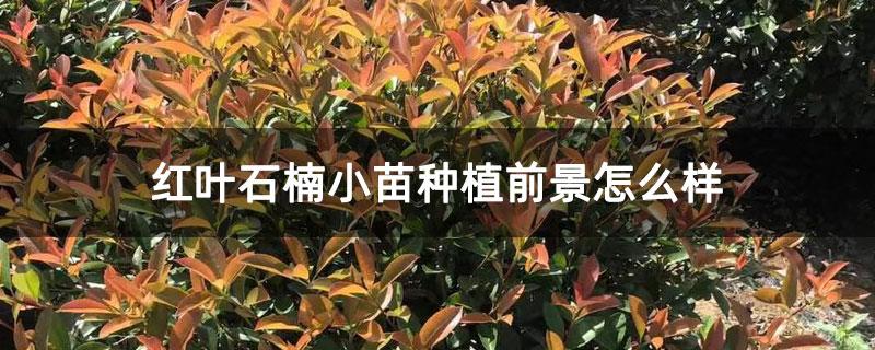 红叶石楠小苗种植前景怎么样