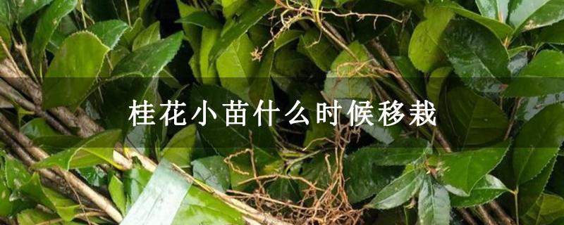 桂花小苗什么时候移栽
