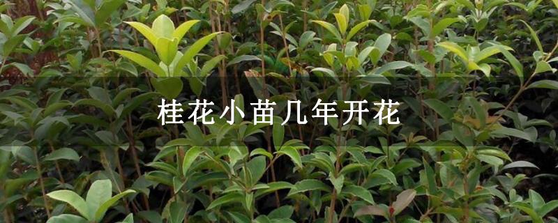 桂花小苗几年开花