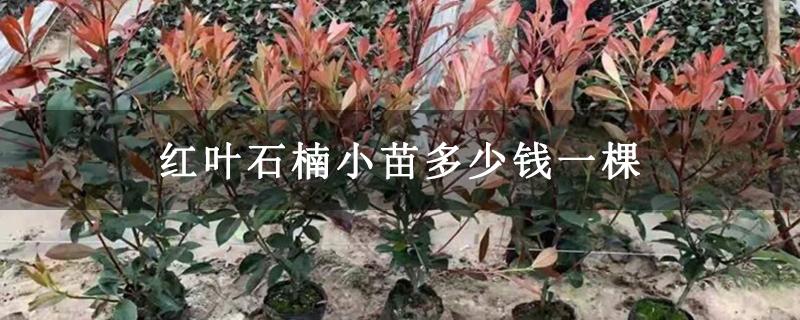 红叶石楠小苗多少钱一棵