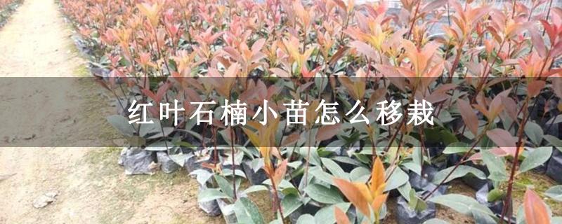 红叶石楠小苗怎么移栽