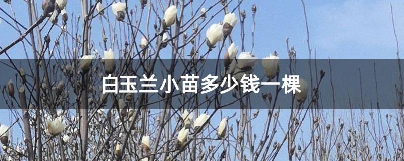 白玉兰小苗多少钱一棵