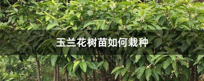 玉兰花树苗如何栽种