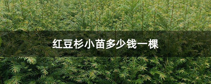 红豆杉小苗多少钱一棵