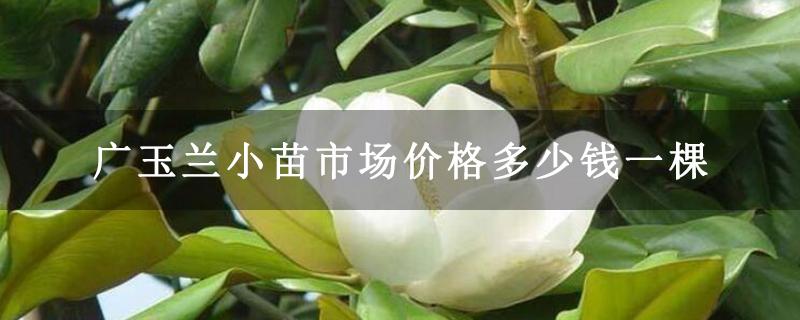 广玉兰小苗市场价格多少钱一棵