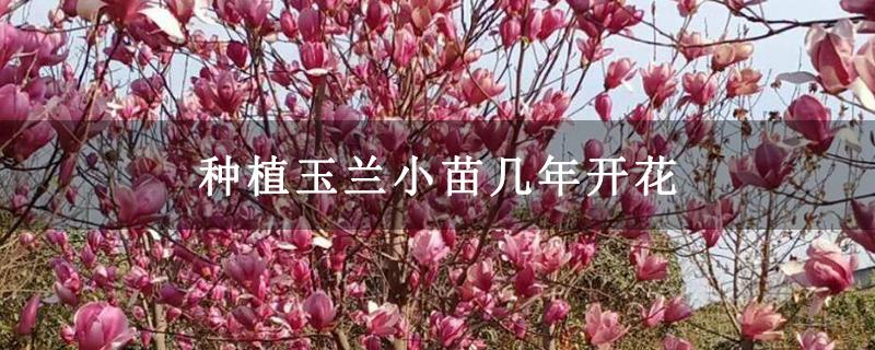 种植玉兰小苗几年开花