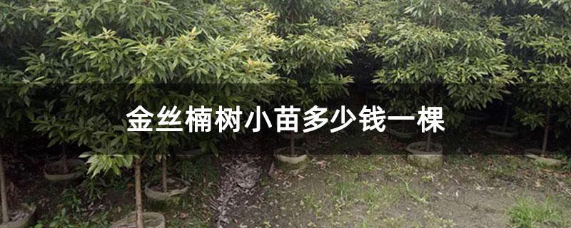 金丝楠树小苗多少钱一棵