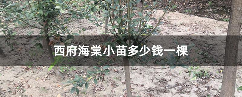 西府海棠小苗多少钱一棵