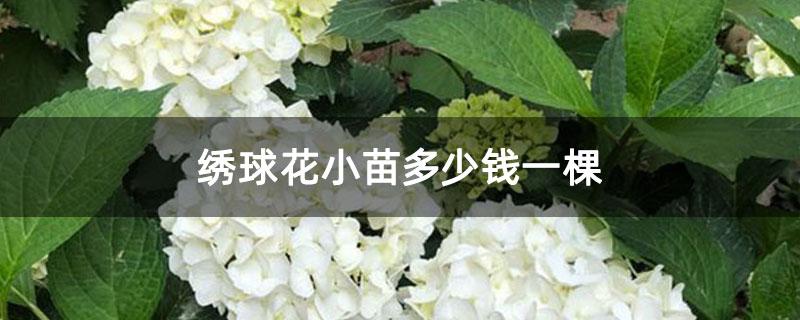 绣球花小苗多少钱一棵