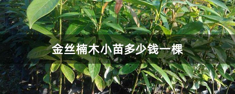 金丝楠木小苗多少钱一棵