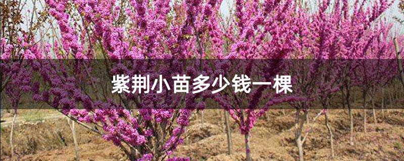 紫荆小苗多少钱一棵