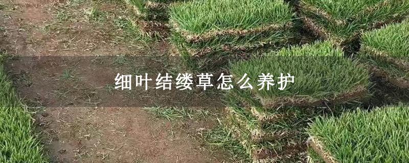细叶结缕草怎么养护