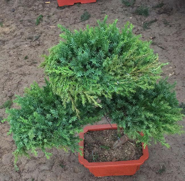 熟悉八种盆景根系造型技巧