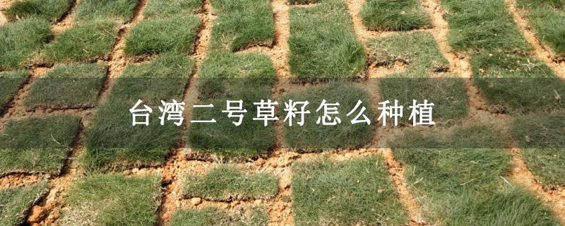 台湾二号草籽怎么种植