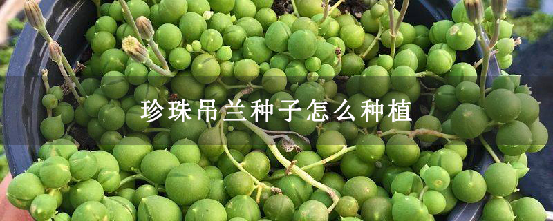 珍珠吊兰种子怎么种植